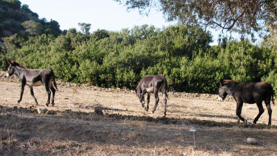 The wild donkeys of the Karpaz, North Cyprus
